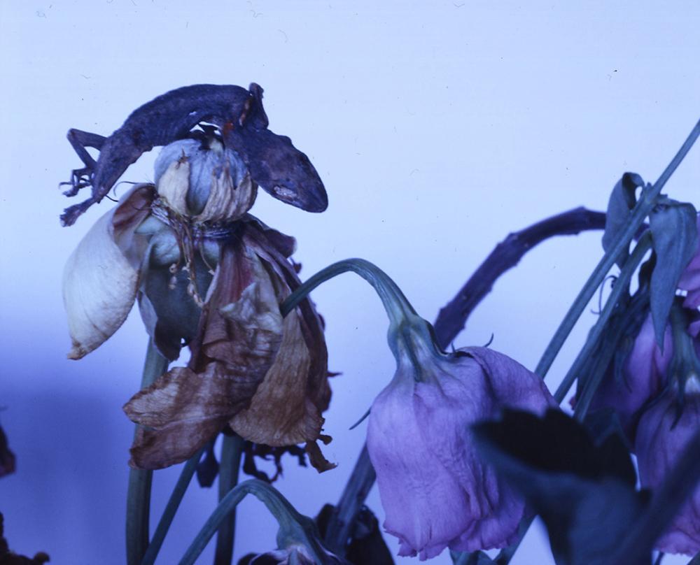 Nobuyoshi Araki, Purple Flowers