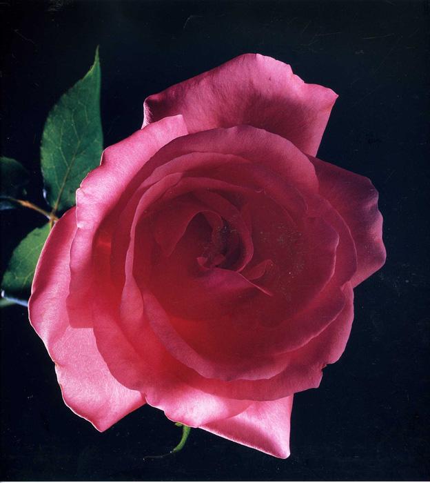 Nobuyoshi Araki, Rose, 1988